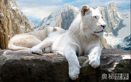 变异动物之白狮子