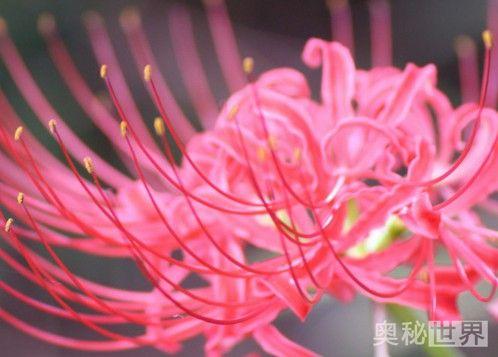 曼珠沙华的花语,曼珠沙华的传说