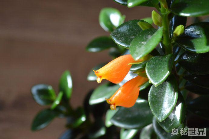 金鱼吊兰,酷似金鱼的植物
