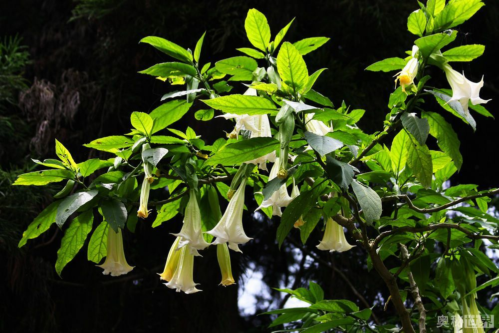 曼陀罗花,神秘莫测的有毒之花