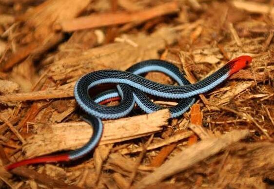 蓝长腺珊瑚蛇,可瞬间将人毙命的毒物